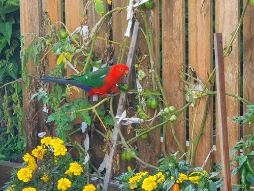 King Parrot eyeing off the tomatoes