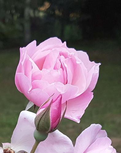 Montville Rose