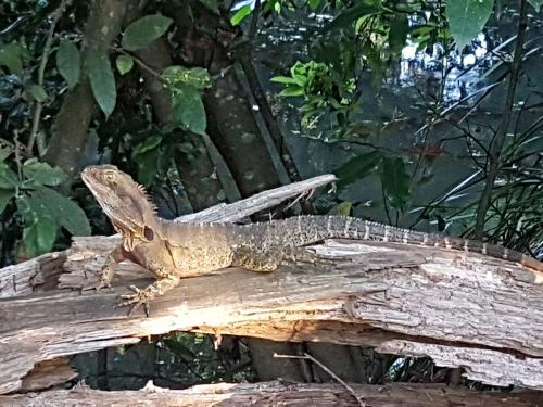 Eastern water dragon---common sight in Maleny town