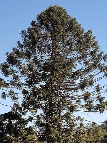 local Bunya Pine